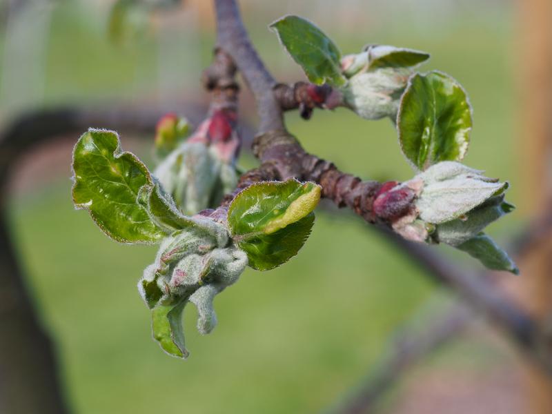 Mausohrstadium Blütenansatz Apfel Red Prince