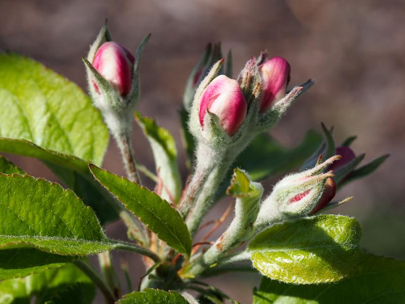 Vorblüte Apfel Topaz rot