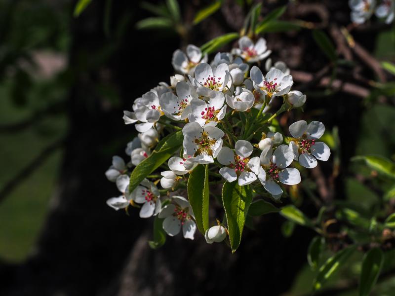 Birnenblüte Köstliche von Charneux