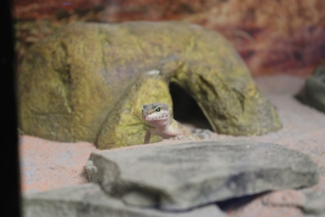 The newest addition to the family, Baby, hangs out on the rocks while looking for crickets.