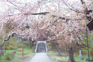 フォトログ:新得神社のサクラ