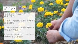 3分でわかるマリーゴールドの花がら摘み