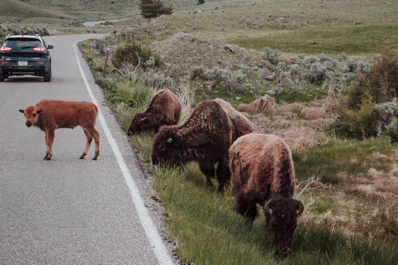 På spaning efter vilda djur i Yellowstone