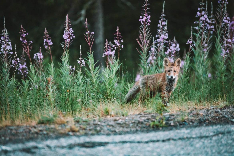 Söt rävunge längs E45:an - Lappland | 20 platser jag vill uppleva i Sverige under 2020