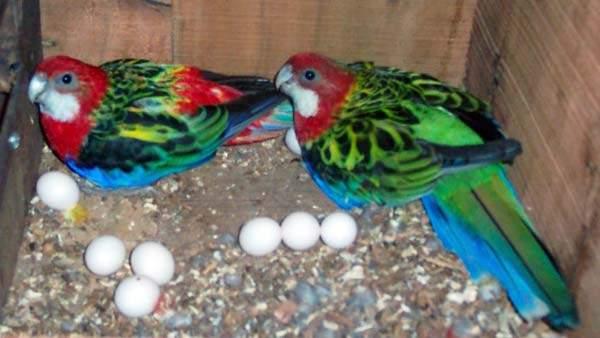 Ovos de papagaio