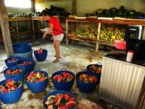 Obst für die Elefanten. Die erste Ration wird hier vorbereitet - Elefanten essen 16 Stunden am Tag