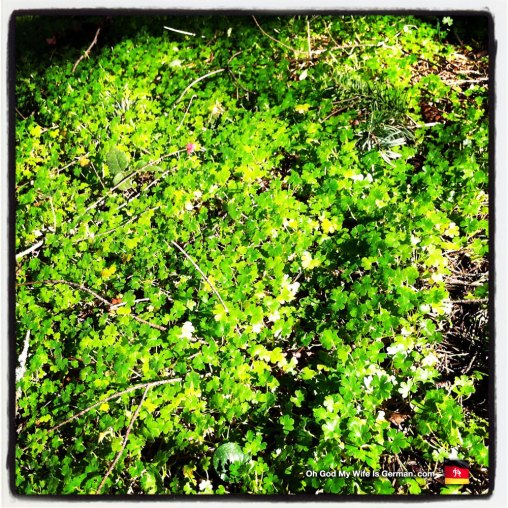Ground cover clover in Portland, Oregon — Pacific Northwest