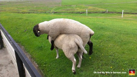 My wife was petting a sheep when this other sheep just bashed right into him and kept on walking, carrying him away on his back.