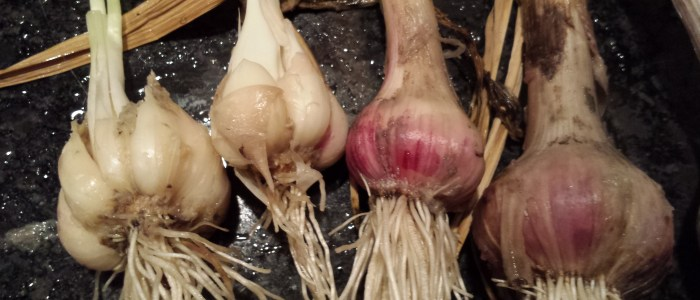 closeup of garlic bulbs