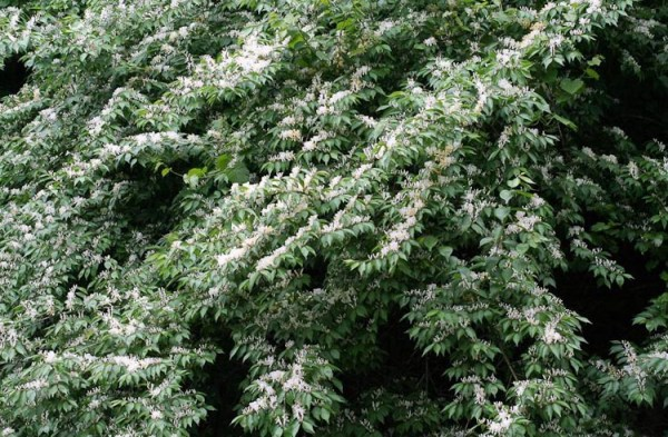 Invasives – Ohio Plants