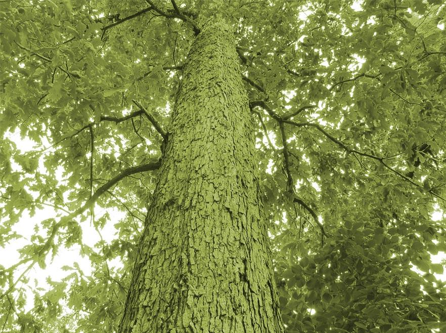 true northern white oak
