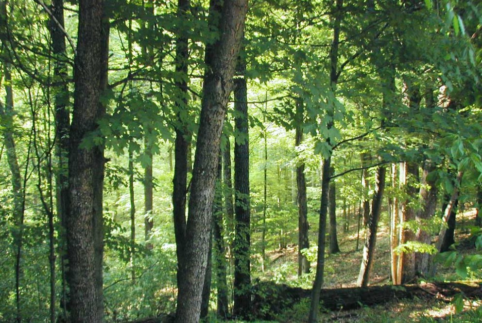 north american hardwood forest in summer