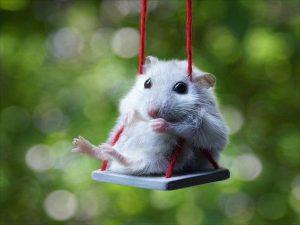 Un hamster qui se balance