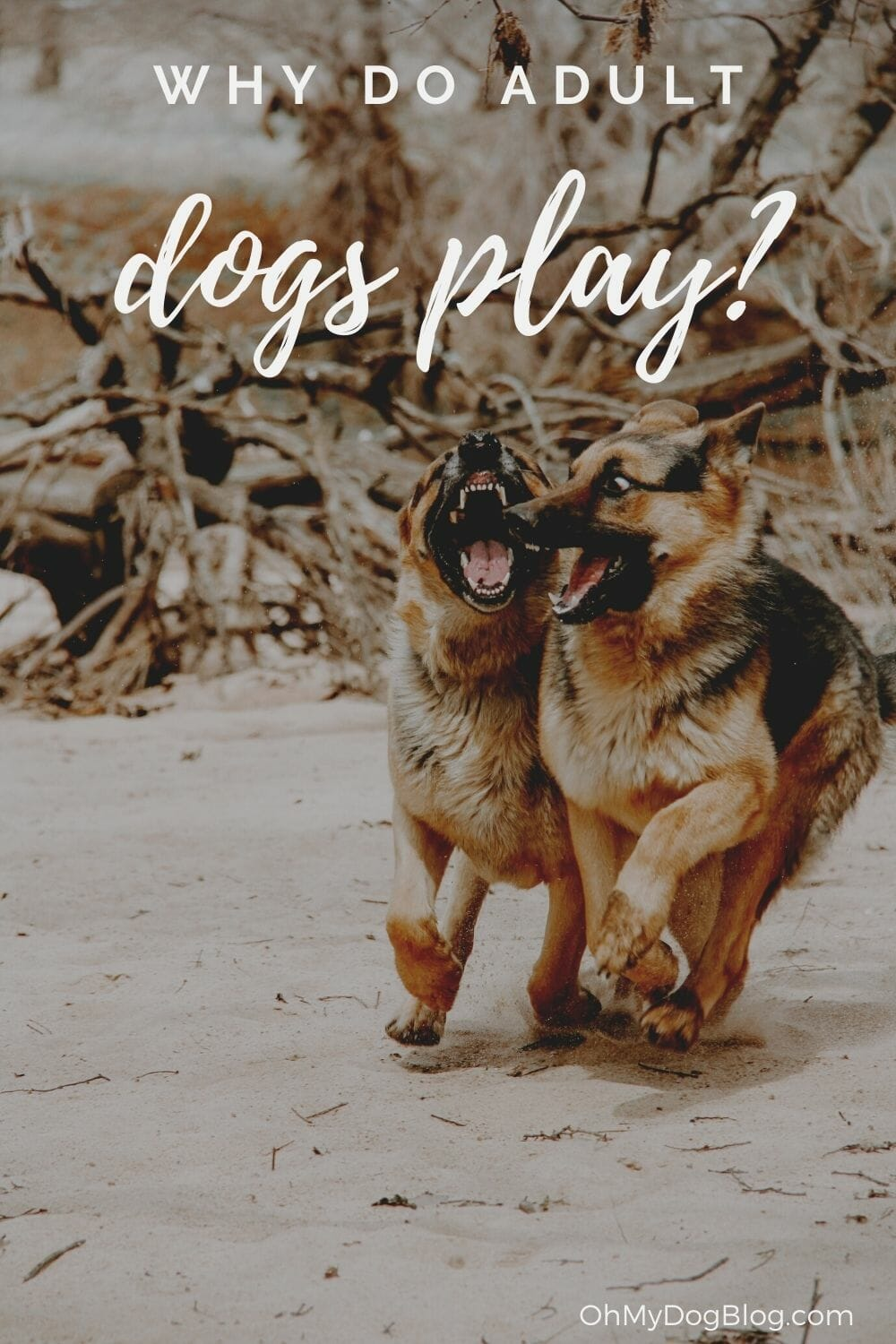 Two adult German shepherds play a game of chase across a beach. The text reads: Why do adult dogs play?