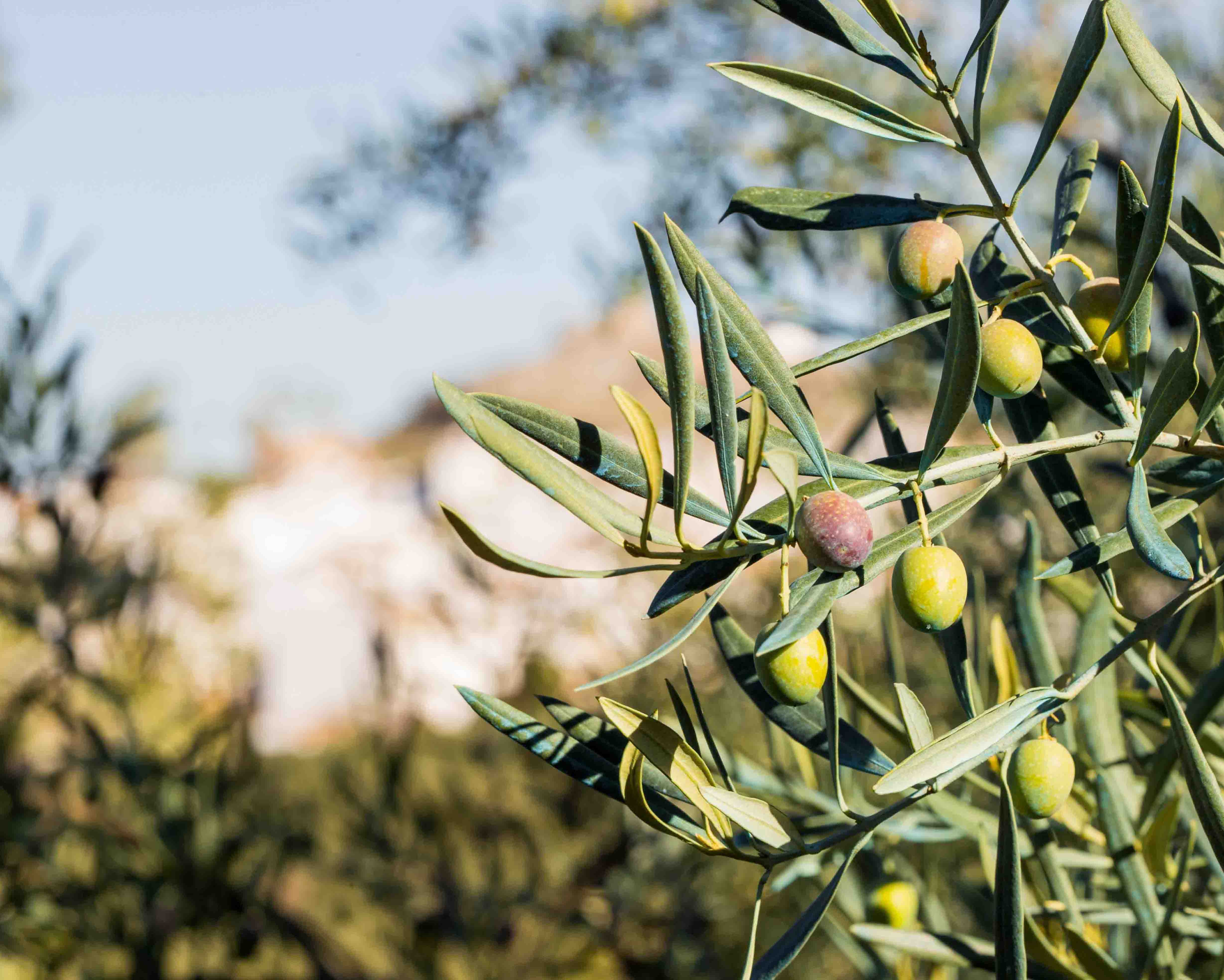1,000 trees and shrubs being planted in Mellieħa