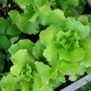 brune_dhiver_lettuce