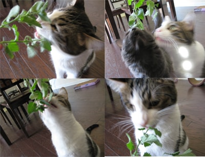 Mochi eating catmint