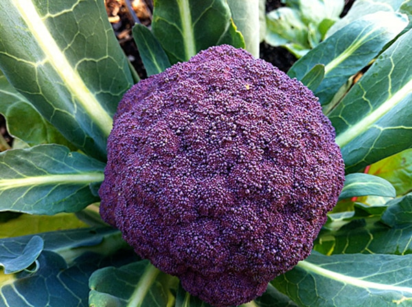 purple_cauliflower_1207
