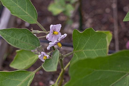 Eggplant 7-3-12