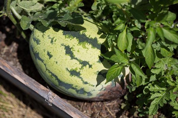 Watermelon - August 2013