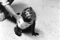O macaco acima havia passado por uma cirurgia que seccionou seus nervos espinhais.