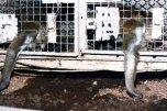 Os funcionários do laboratório não alimentavam os animais direito, por isso, eles caçavam os restos de comida no chão.