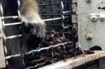 Os macacos viviam em meio à sujeiras e excrementos.
