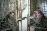 Desesperados por contato social, dois macacos esticam os braços em direção ao outro.