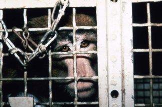 Billy, um dos macacos mais torturados do laboratório. Sem o movimento dos dois braços, ele ficou incapaz de se alimentar normalmente.