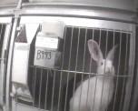 Os coelhos ficam em gaiolas pequenas.