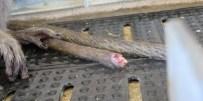 Cauda cortada sem anestesia.