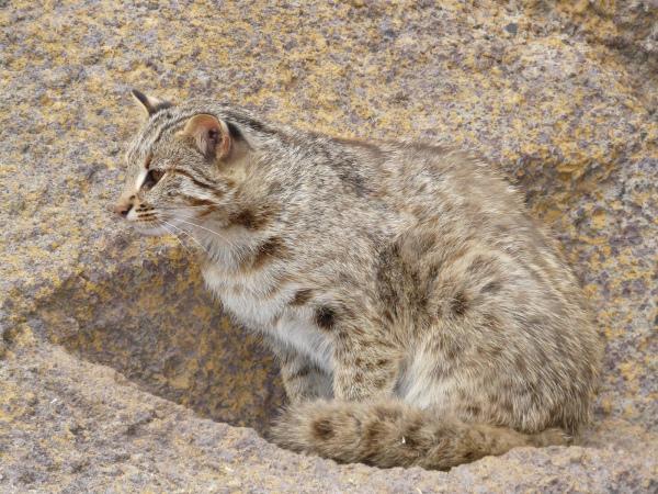 Амурский лесной кот описание вида