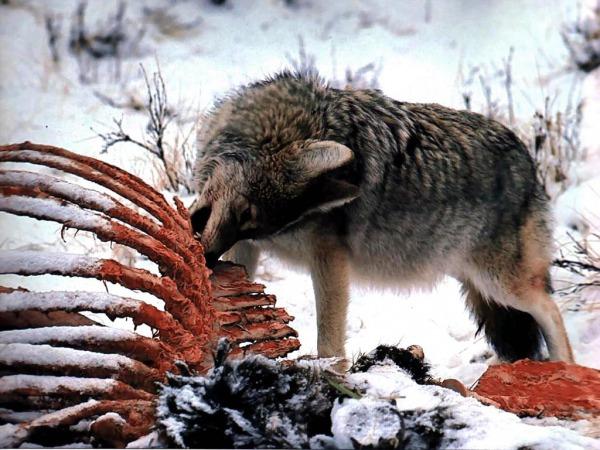 Волки образ жизни повадки места обитания отношения с человеком