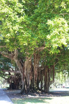 Banyon trees, St. Petersburg, FL