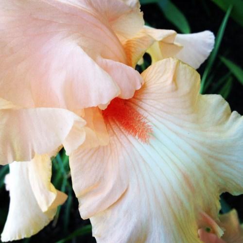 Pale peach iris