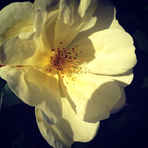 Knock-out roses:Yellow