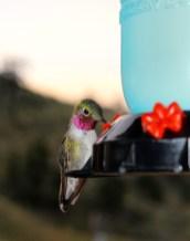 Red-throated hummingbird
