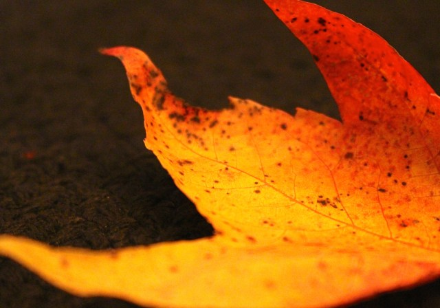 Fiery glow -- autumn leaves