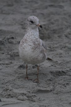 Gull on beach -- Tybee Island