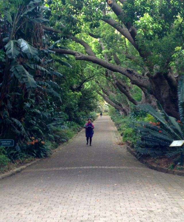 Towering trees at Kirstenbosch National Botanical Gardens