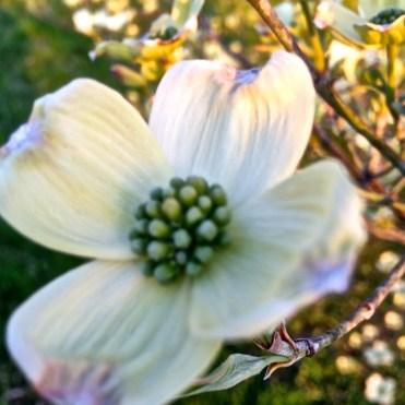 White dogwood blossom