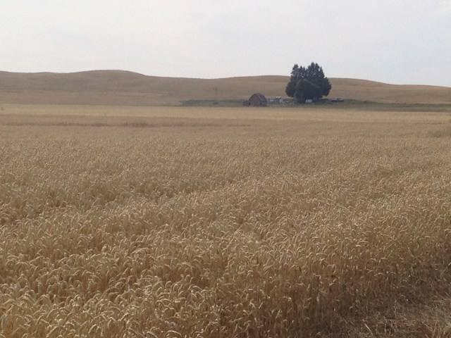 Vast wheat fields in the Palouse.