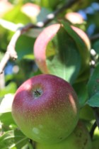 Apples at Lyda Farms