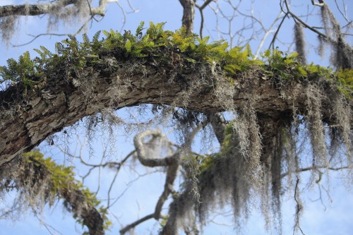 Resurrection vine turns green after a spring rain at Harbor Town, Hilton Head Island.
