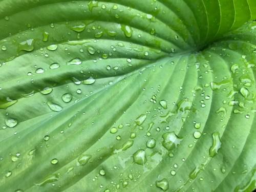 Raindrops on hosta