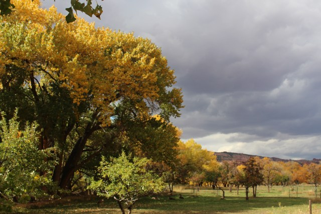 Fall color in the orchards at Fruita, a place where visitors can pick the fruit in season while visiting Capitol Reef.