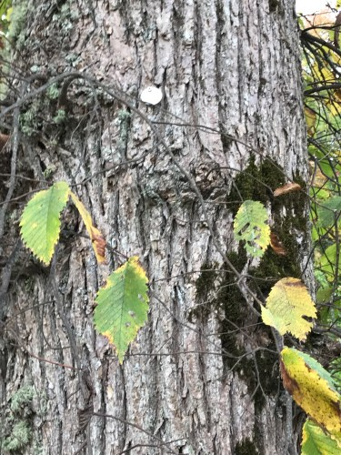 Castine elm tagged for identification and monitoring.
