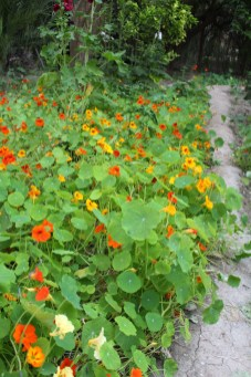 Nasturtiums in bloom