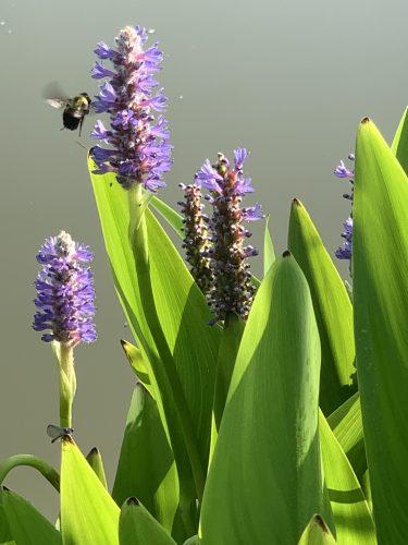 Bee on water plants