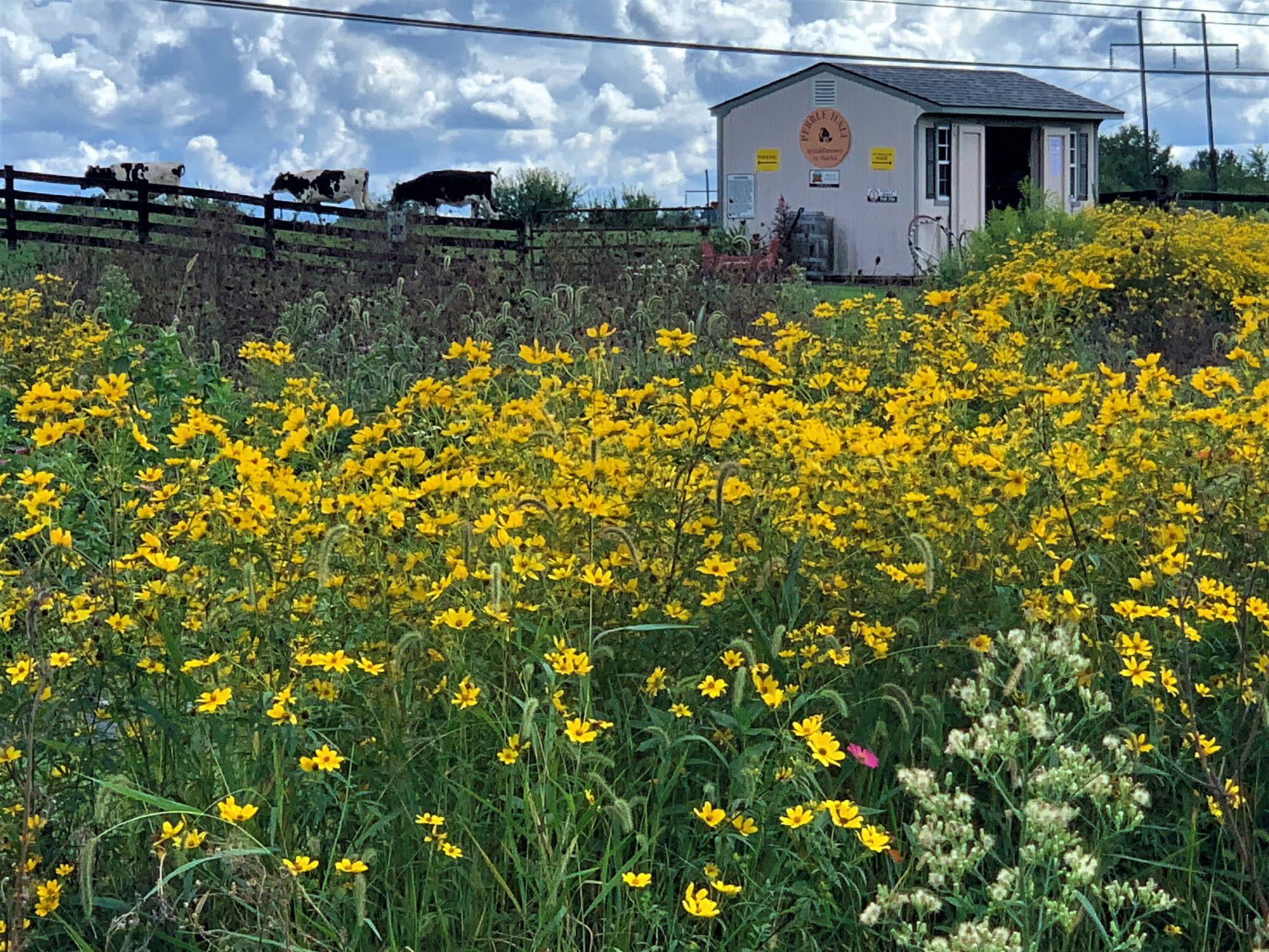 Pebble Hall Wildflowers, Weyers Cave, VA